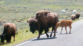 Madre de la vaca de Bison Buffalo con el camino de la travesía del becerro del bebé con la manada en Lamar Valley del parque naci Imagenes de archivo