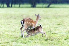 Madre de los ciervos en barbecho que alimenta a su bebé Imagen de archivo
