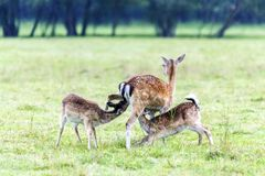 Madre de los ciervos en barbecho que alimenta a sus bebés Imagenes de archivo