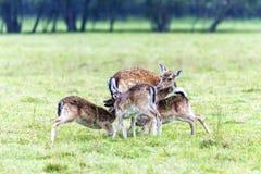 Madre de los ciervos en barbecho que alimenta a sus bebés Foto de archivo