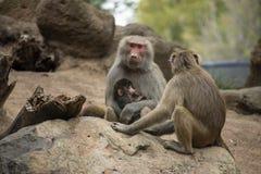 Madre del babbuino che alimenta il suo bambino fotografia stock