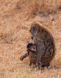 Madre del babuino con el bebé Fotografía de archivo