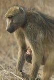 Madre del babuino de Chacma con el bebé, Botswana Fotografía de archivo