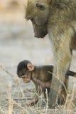 Madre del babuino de Chacma con el bebé, Botswana Foto de archivo libre de regalías
