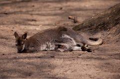 Madre del canguro fotografía de archivo