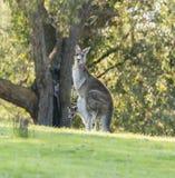 Madre del canguro con il joey del bambino Immagini Stock Libere da Diritti