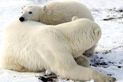 madre del cub di orso polare Fotografie Stock Libere da Diritti