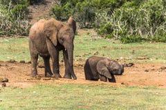 Madre del elefante con el niño en Addo Elephant Park Viñedo famoso de Kanonkop cerca de las montañas pintorescas en el resorte fotografía de archivo libre de regalías