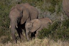 Madre del elefante y su becerro en arbusto africano foto de archivo libre de regalías