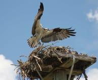 Madre del falco pescatore fotografia stock libera da diritti