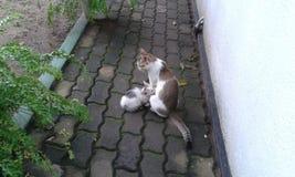 Madre del gatto ed suo figlio nella casa della Sri Lanka fotografia stock libera da diritti