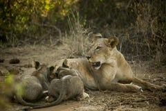 Madre del león que alimenta pequeños leones en África Imagen de archivo libre de regalías
