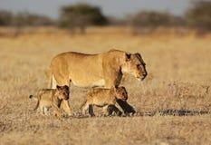 Madre del león con los pequeños cachorros Foto de archivo libre de regalías