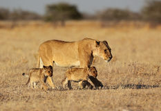 Madre del leone con i piccoli cubs Fotografia Stock Libera da Diritti