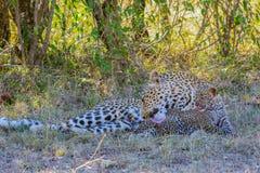 Madre del leopardo che lecca il leopardo del bambino fotografia stock libera da diritti