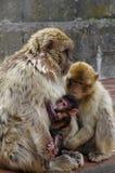 Madre del Macaque de Gibraltar con el bebé Fotografía de archivo