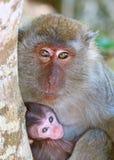 Madre del mono Imagen de archivo libre de regalías