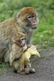 Madre del mono con el bebé Fotografía de archivo libre de regalías