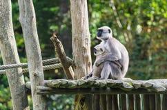 Madre del mono de Vervet con el amamantamiento del mono del niño fotografía de archivo libre de regalías