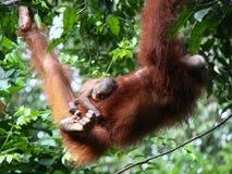 Madre del orangután con los jóvenes Fotos de archivo libres de regalías