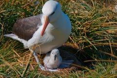Madre dell'albatro con il pulcino Immagini Stock