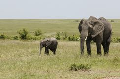 Madre dell'elefante e bambino, Maasai Mara, Kenya, Africa fotografie stock