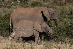 Madre dell'elefante ed il suo vitello in cespuglio africano Immagine Stock Libera da Diritti