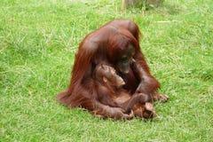 Madre dell'orangutan con il bambino Fotografia Stock