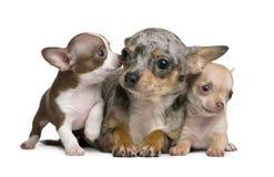 Madre della chihuahua ed i suoi 2 cuccioli, vecchio 8 settimane Immagini Stock Libere da Diritti