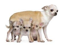 Madre della chihuahua ed i suoi 3 cuccioli, vecchio 8 settimane Immagine Stock