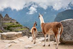 Madre della lama con il suo bambino al fondo delle montagne nel Perù Fotografia Stock
