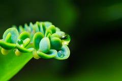 Madre della pianta del succulente di migliaia Immagini Stock Libere da Diritti