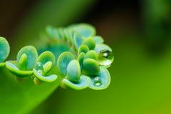 Madre della pianta del succulente di migliaia Fotografie Stock Libere da Diritti
