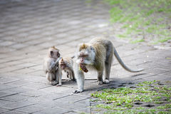 Madre della scimmia con i suoi bambini Fotografie Stock Libere da Diritti