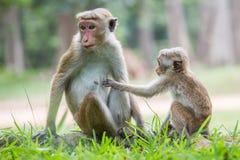 Madre della scimmia ed il suo bambino Immagine Stock