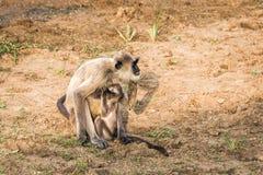 Madre della scimmia ed il suo bambino Immagini Stock Libere da Diritti