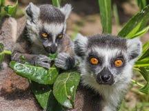 Madre delle lemure catta con il bambino Fotografia Stock Libera da Diritti