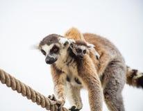 Madre delle lemure con il bambino su indietro Fotografia Stock