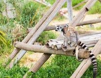 Madre delle lemure con il bambino su indietro Immagini Stock Libere da Diritti