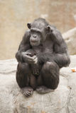 Madre dello scimpanzè Fotografia Stock