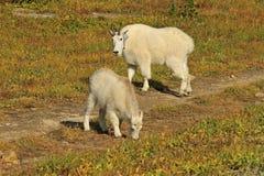 Madre dello stambecco e bambino, Glacier National Park Fotografia Stock Libera da Diritti