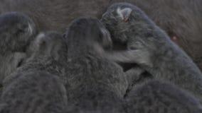 Madre di Britannici Shorthair che alimenta i suoi bambini stock footage
