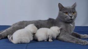 Madre di Britannici Shorthair le che alimenta i gattini neonati archivi video