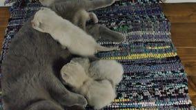 Madre di Britannici Shorthair le che alimenta i gattini neonati stock footage
