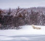 Madre di cura e proteggente dell'orso polare Immagine Stock