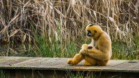 Madre di Gibbon che tiene il suo infante neonato, primati con i bambini fotografie stock libere da diritti