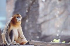 Madre dorata della scimmia fotografia stock