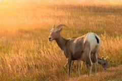 Madre e bambini delle pecore del Big Horn Immagine Stock