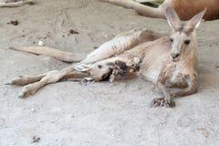 Madre e bambino del canguro allo zoo in Israele fotografia stock