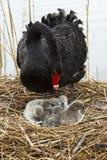 Madre e bambino del cigno Immagine Stock Libera da Diritti